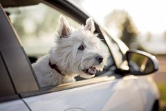West highland white terrier a very good looking dog Royalty Free Stock Photos
