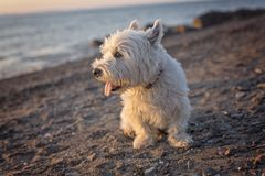 West highland white terrier a very good looking dog Royalty Free Stock Image