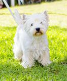 West Highland White Terrier Stock Photos