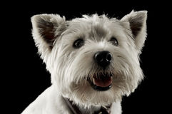 West Highland White Terrier waching in a studio with dark backgr. West Highland White Terrier waching in a studio Royalty Free Stock Photo