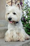 West Highland White Terrier. Is waiting for its owner royalty free stock image