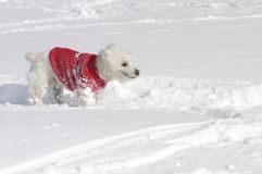 West Highland White Terrier walking through the snow. West Highland White Terrier in the snow sniffing with a red pullover stock photo