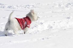 West Highland White Terrier walking through the snow. West Highland White Terrier in the snow sniffing with a red pullover from the back royalty free stock images