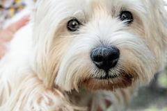 West Highland White Terrier. Close-up royalty free stock photos