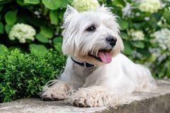 West Highland White Terrier. West Highland White A terrier lies in front of a flower bed with flowers stock image