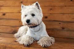West Highland White Terrier. Sits on a wooden bench stock photo