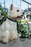 West Highland White Terrier. Is waiting for its owner stock photo