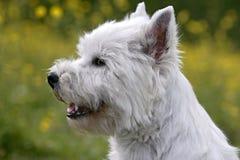 West-highland White Terrier Stock Photo