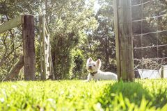West highland white terrier westie dog on grass in garden in New. West highland white terrier westie dog on grass in garden with gate and fence in New Zealand royalty free stock photography