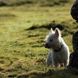 West Highland White Terrier, contemplating her next move! Royalty Free Stock Image