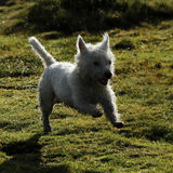 Wet Dog ! West Highland White Terrier Stock Image