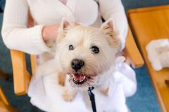 West highland white terrier westie therapy dog on lap of adult p. Erson in retirement care home in New Zealand, NZ stock image