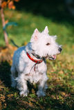 West Highland White Terrier - Westie, Westy Dog Outdoors. Stock Photo