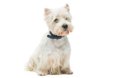 West highland white terrier royalty free stock photos