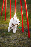 West highland white terrierdog doing agility - Royalty Free Stock Photos