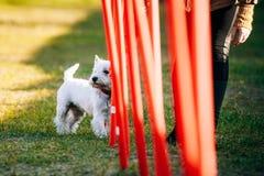 West highland white terrierdog doing agility - Stock Photo
