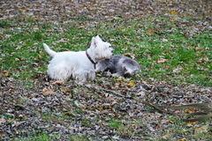 West Highland White Terriers play in a park Stock Image