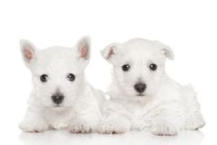 West highland white terriers Royalty Free Stock Photos