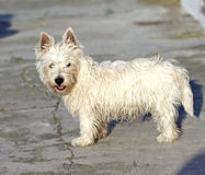 West Highlands Terrier Royalty Free Stock Photography