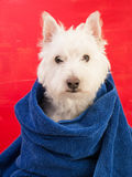 Small white dog wrapped in a towel Stock Photography