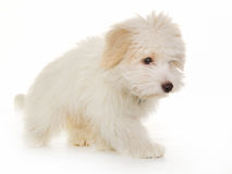 West Higland White Terrier Royalty Free Stock Photo