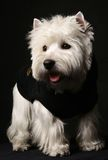 West higland white terrier. Poising on studio stock image