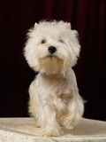 West hilend white terier. Dog Royalty Free Stock Photo