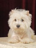 West hilend white terier. Dog Royalty Free Stock Photography