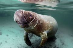 West India Manatee Stock Image
