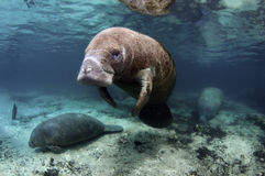 West India Manatee Stock Photo