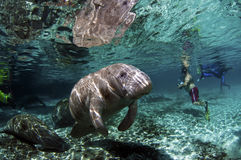 West-India Manatee Royalty-vrije Stock Foto's