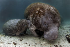 West India Manatee (Calve suckling from it's mom) Stock Photography
