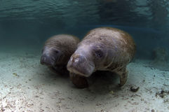 West India Manatee (Mother and Calve) Royalty Free Stock Image