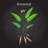 West Indian arrowroot Maranta arundinacea , or obedience plant, araru, ararao stock illustration
