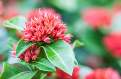 West Indian Jasmine flower Stock Images