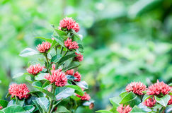 West Indian Jasmine flower Stock Photography
