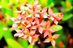 West Indian Jasmine. Flowers in the garden Stock Photography