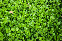 West Indian Jasmine Green Leaves background Royalty Free Stock Image