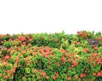West Indian Jasmine Stock Photos