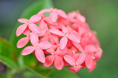 West indian jasmine Stock Photography