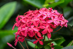 West indian jasmine. Red west indian jasmine, front focus, blurred background stock photography