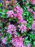 West Indian Jaxmine Rubiaceae blur background stock photos