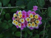 West Indian Lantana (Lantana Camera) Plant Blossoming. West Indian Lantana (Lantana Camera) Plant Blossoming in South Daytona, Florida royalty free stock photography