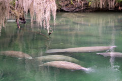 West Indian Manatee, Blue Spring, Florida, USA Stock Image