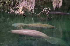 West Indian Manatee, Blue Spring, Florida, USA Stock Images