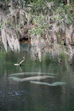 West Indian Manatee, Blue Spring, Florida, USA Royalty Free Stock Photography