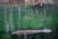 West Indian Manatee, Blue Spring, Florida, USA Stock Photography