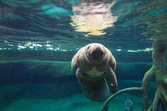 The West Indian manatee Royalty Free Stock Photography
