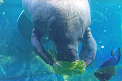 West Indian manatee Stock Image