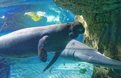 West Indian manatees Stock Photography